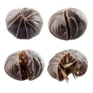 Pill bugs rolling itself together