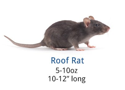 Roof rat on white background