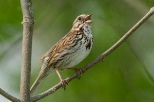 Song Sparrow perched on a branch and singing