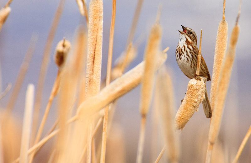 Song sparrow in full song while perched among cattails