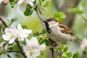 White throated sparrow with apple blossoms in spring