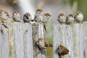 Group of Tree Sparrows sitting on the fence
