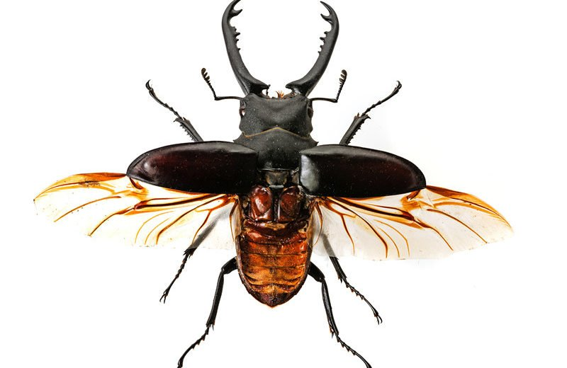 Stag Beetle: General Facts and How to Control Them - PestWiki