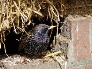 A starling on a wall under straw