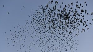 Flock of European Starlings in the Sky