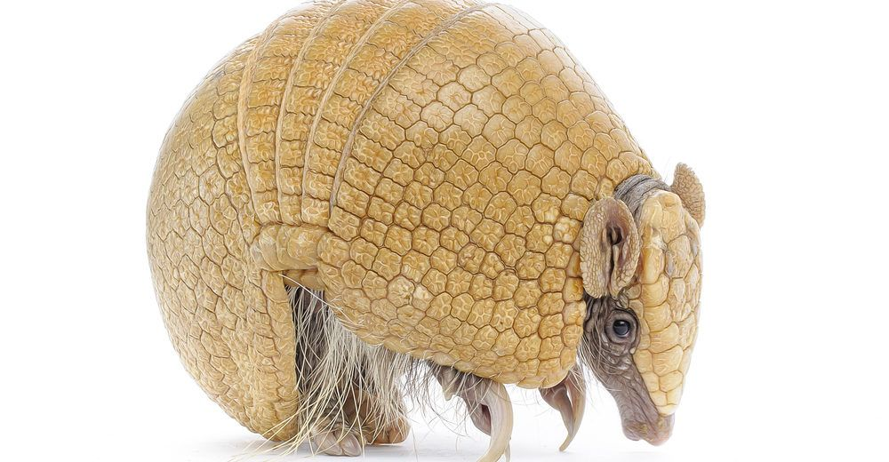 Three banded armadillo on white background.