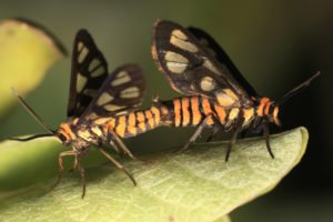 Tiger moths are mating on a leaf.