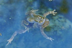 Common toad swimming in pool