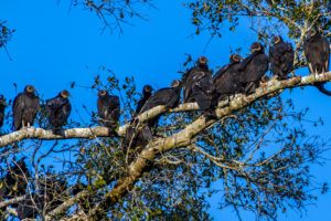 A group of Turkey Vultures resting on tree