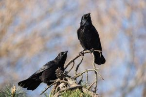 Two crows resting on tree