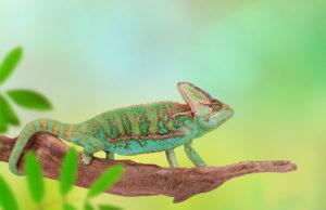 Veiled chameleon close-up photo
