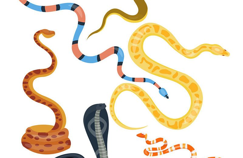 Different types of viper snakes