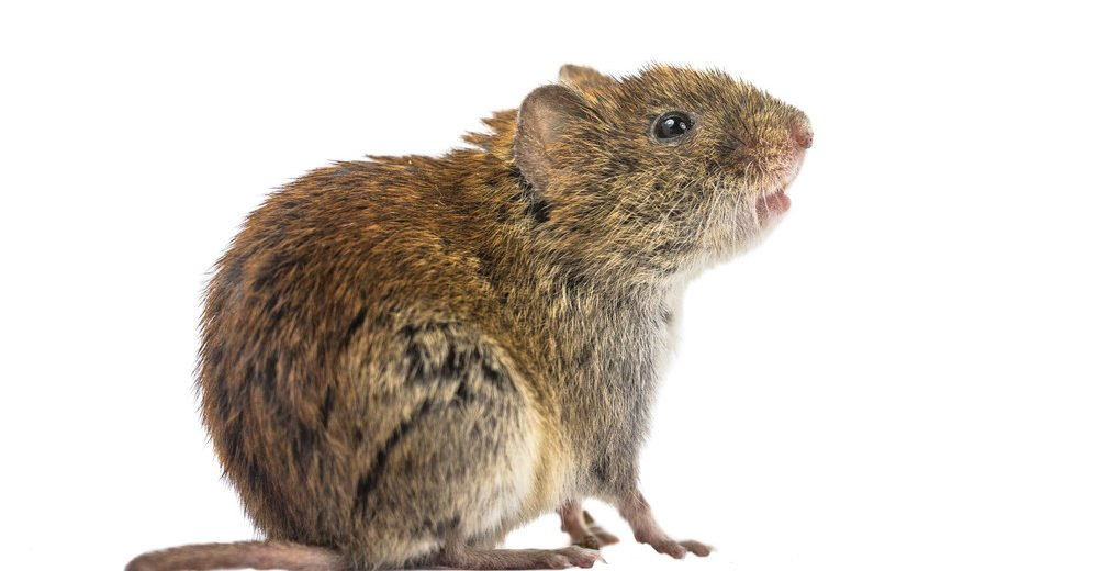 Side view of wild vole sitting on hind legs and looking up on white background.