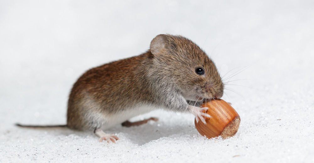A vole is eating nut on icy snow.