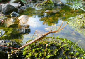 A close up of a water-scorpion on stone in water