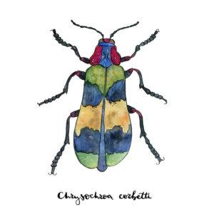 Hand drawn painted watercolor sketch of beetle