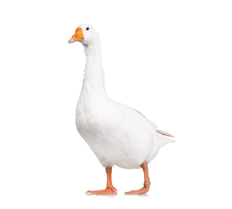 White domestic goose on white background