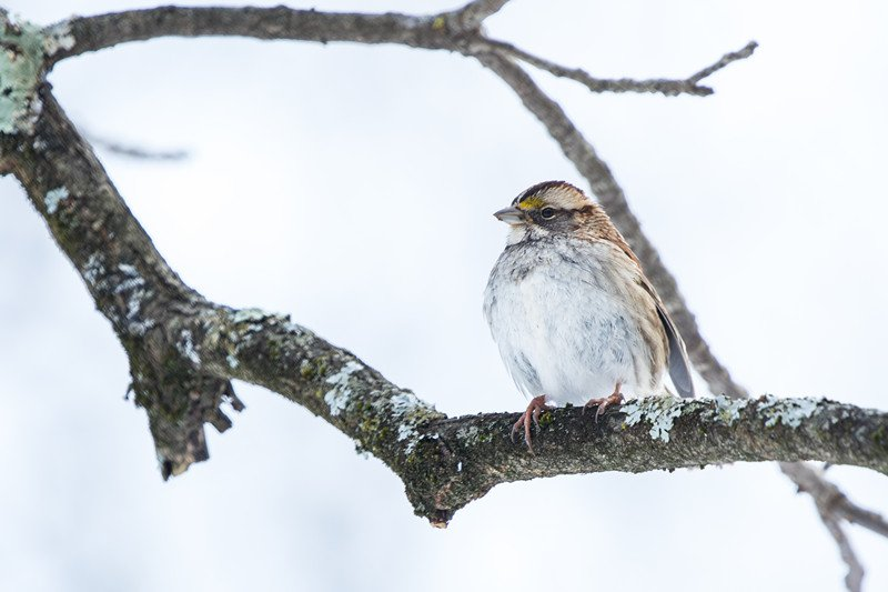 White Throated Sparrow on a branch in winter