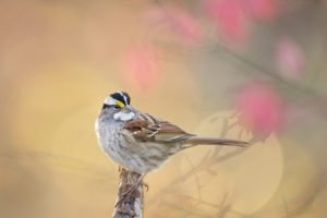 A White-throated Sparrow sits perched on a branch