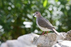 White-tipped Dove resting on a rock