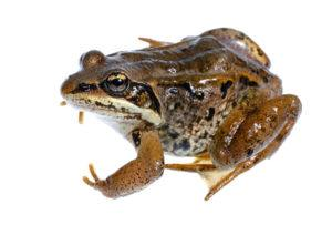 Wood frog isolated on the white.