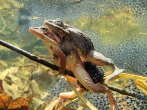 Wood frogs are mating on a branch.