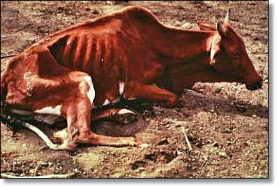 Trypanosomiasis infested cow