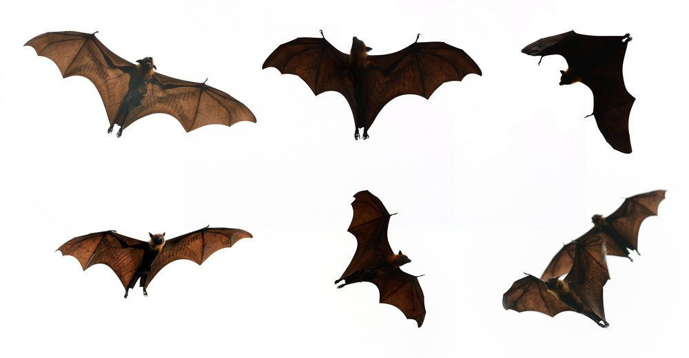 Collection Bat isolate on white background.