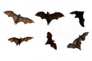 13 Effective Home Remedies To Get Rid Of Bats Pest Wiki