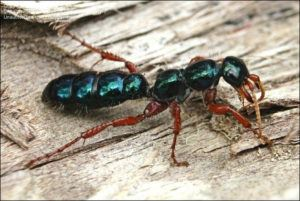 Blue ant on lying on wooden background