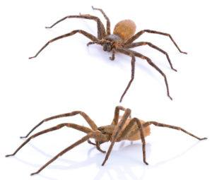Two bro recluse spiderson white