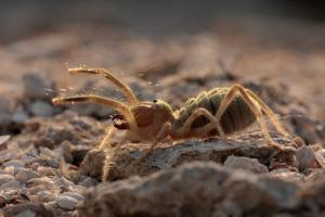 Camel spider lying on sand and rock