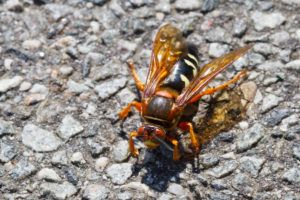 Cicada killer wasp isolated on the ground.