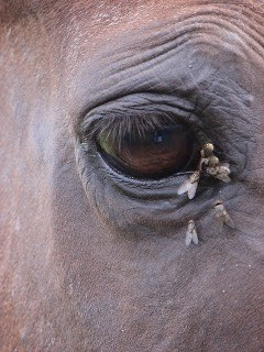 horse fly surrounding the horse's eye