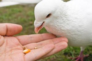 Human is feeding a white pigeon.