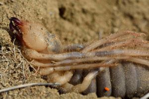 Female camel spider ready to lay eggs
