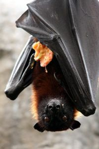 Fruit bat also known as flying fox is eating.