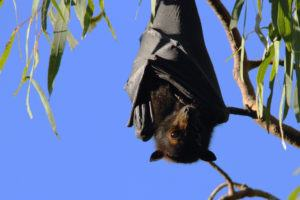 Bat hanging upside down on the branch.