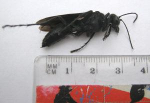 great black wasp helpful information sting how to get rid of