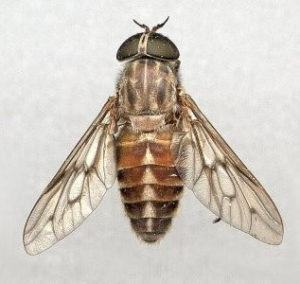 Horse fly on white background