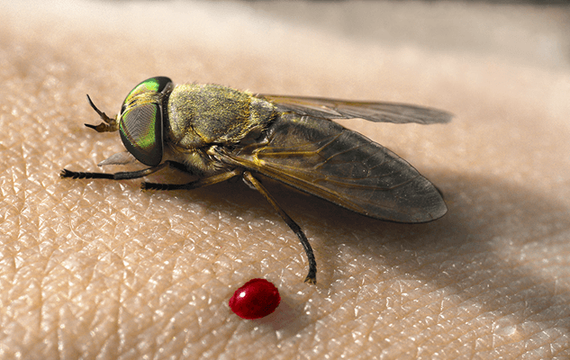 Horse fly and blood on skin