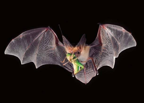 The Indiana bat is eating a insect while flying over the black.