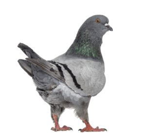 Rear view of a Black King Pigeon isolated on white.