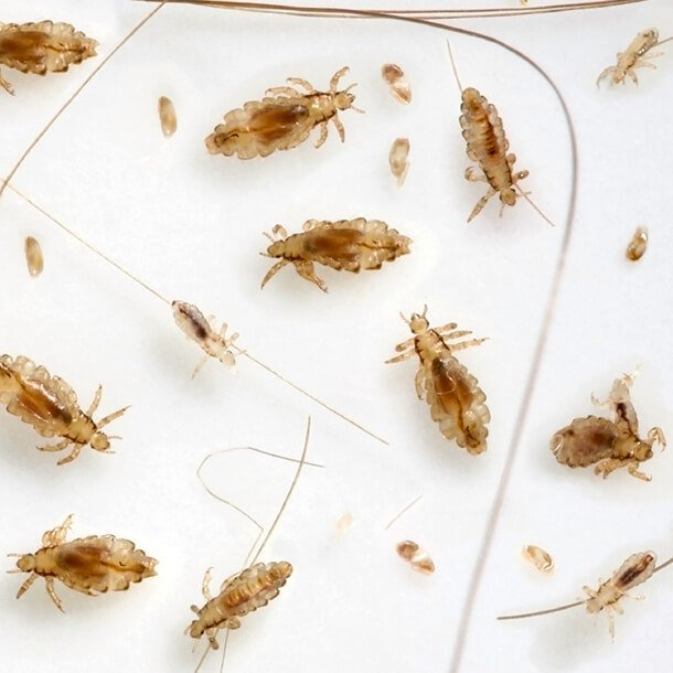 Lice on white background.