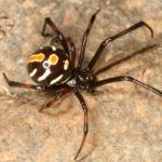 Close up of northern black widow spider