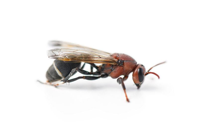 Paper wasp on white background