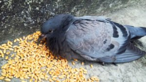 Pigeon is eating wheat grains.