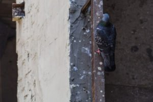 Pigeon sitting on the balcony of the old house with the orange paint on rusty perylene.
