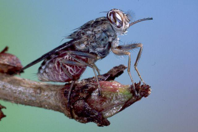 Tsetse fly on branch