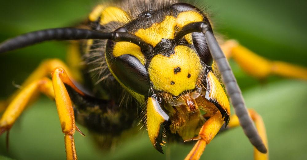 Wasp macro with wide open mandibles.
